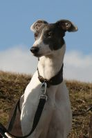 Gypsy The Greyhound by eljakim