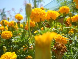 Yellow Flowers.. by iSweetxCherry