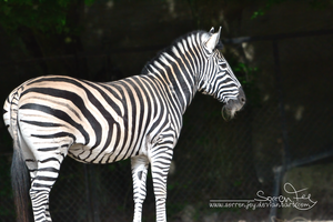 Zebra with Beard by SorrenFey