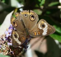 ..Common Buckeye., by duggiehoo