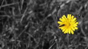 Yellow Flower BnW background by TakeMeToAnotherPlace