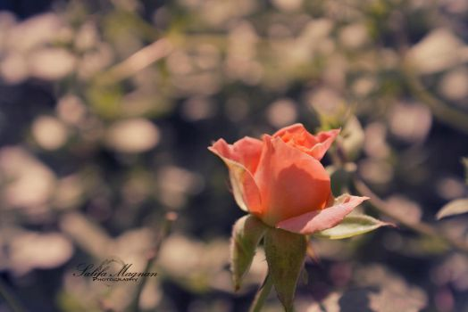 Summer rose by SacMPhoto