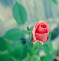Sweet rose by Marianna9