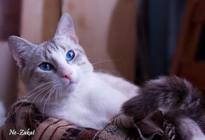 Resqued thai male cat by Yerahatte