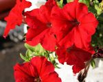 red petunias by inlezorn