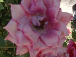 Another Light Pink Rose by RockyRoxas13