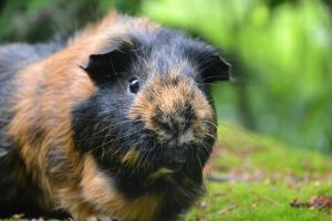 My guinea pig, Vili by Neatsku