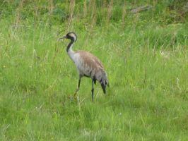 common crane by Feridwyn