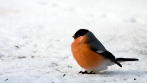 Bullfinch profile by mv79