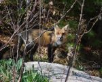 Red Fox Mama by Pagan-Inspiration