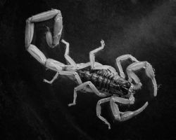Scorpion 2 by duronboy
