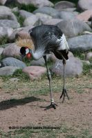 Grey Crowned Crane 001 by FoxWolfPhoto