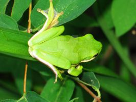 Green Tree Frog by flowersteph