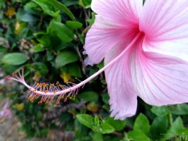 Pink Hibiscus by melsofmaui