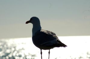 Seagull by Lilino