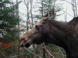 Finally a Moose! by Indiliel