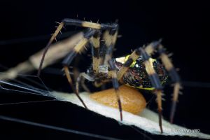 St Andrew's Cross spider laying eggs by melvynyeo