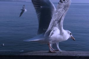 Close up Seagull by blueMALOU