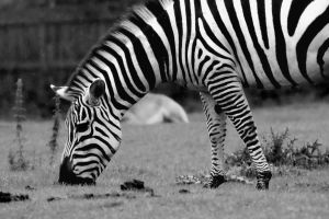 Zebra by Stolzer