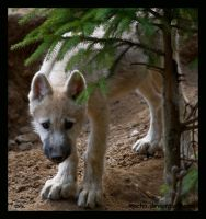 shy wolf puppy by morho