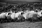 Princetown's sheeps by LuxLucie