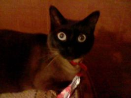 wide eyed siamese by mistresscarrie