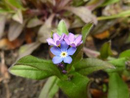 Forget-me-nots - back garden by SrTw