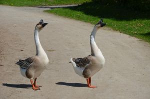 geese I by mimose-stock
