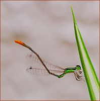 damsel fly by freudian-slips