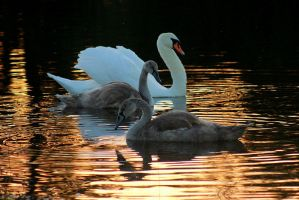 swans by imtl