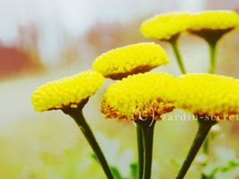 Yellow Flowers 04 by zardin-secret