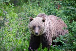 Grizzly Bear in the Rockies by ElmsPhotography