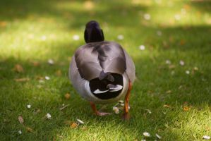 Canard 01 by Jules171