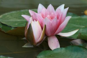 water lily 3 by Drezdany-stocks