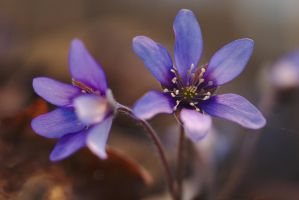 Anemone hepatica #6 by perost