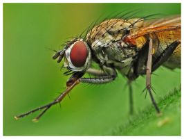 The fly by petteram