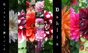 Dahlia PACK by gsdark-stock