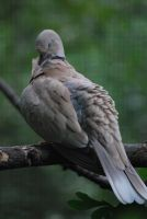 ring-necked dove 1.1 by meihua-stock