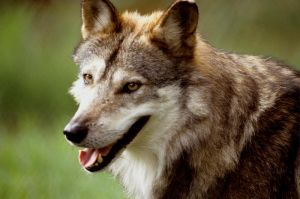 Mexican Wolf 2 by Art-Photo