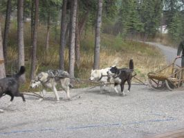 Dog sled by shush-stock