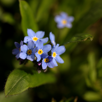 Forget-me-nots by bmh1