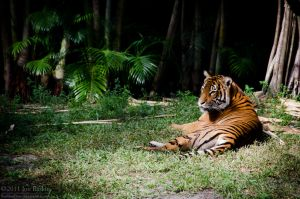 Lounging Tiger by JonShotFirst