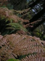 Shield Ferns in Western Washington by SamaraSteele