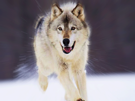 Wolf running photoshop by wolfbloodMANIA