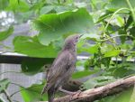 Young Starling 1 by Windthin