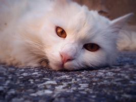 Cat by Delegrion