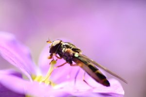 The Hoverfly by DCooper20