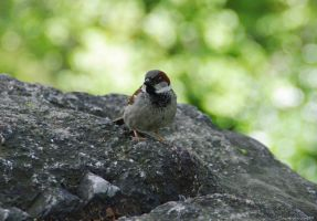 House Sparrow by arawyndesigns