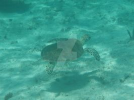 TME Akumal, Mexico: Green Sea Turtle II by Namyr