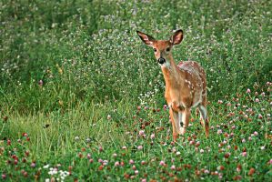Curious Fawn by MichelLalonde